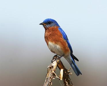 Eastern Bluebird, Male 6, Eagle Point NWR, Derby, Vt