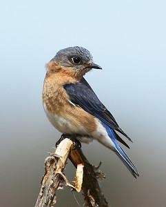Eastern Bluebird, Female Looking Back, Eagle Point NWR, Derby, Vt
