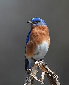 Eastern Bluebird, Male 1, Eagle Point NWR, Derby, Vt