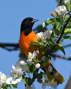 Baltimore Oriole 3, Eagle Point NWR, Derby, Vt