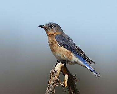 Eastern Bluebird, Female, Eagle Point NWR, Derby, Vt