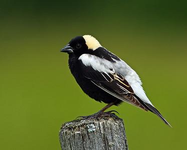 Bobolink, Male, Eagle Point NWR, Derby, Vt