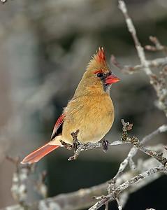 Female Cardinal, Craftsbury, Vt