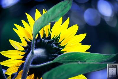 Midnight Sunflower