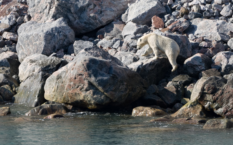 Polar bear in Sam Ford Fjord, Baffin Island, Canada