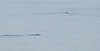 Narwhal and Polar Bear swimming in Sam Ford Fjord, Baffin Island, Canada