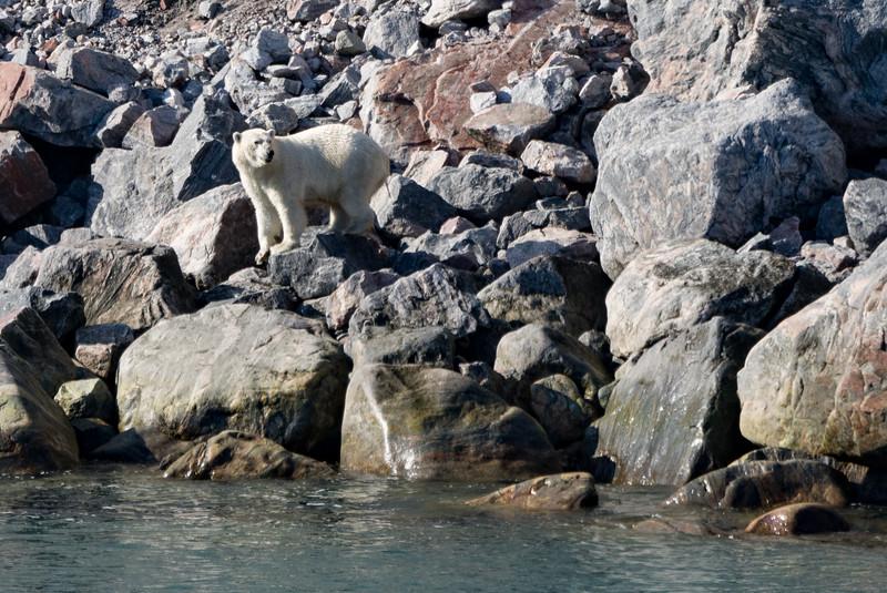 Polar bear in Sam Ford Fjord, Baffin Island, Canada