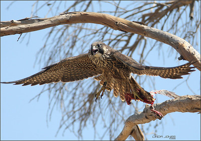 Peregrine, Bolsa Chica. Carrying her food off a tree.