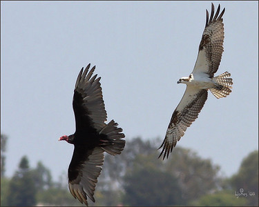 Osprey chasing vulture away from nest.