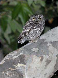 Fledging Screech Owl