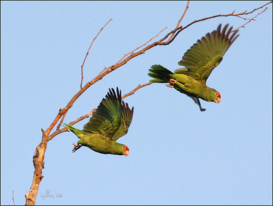 Wild parrots in Irvine, Ca
