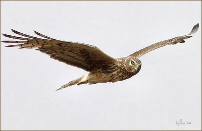 Northern Harrier on a cloudy day, Back Bay