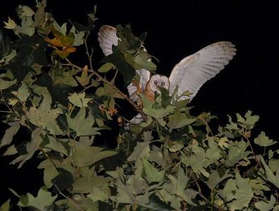 Barn Owl, after dark.