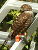 Cooper Hawk in my back yard.