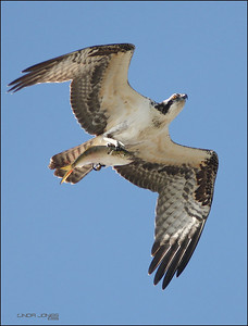 First bird photo at Cape May, New Jersey. Their Osprey have different beaks than west coast.