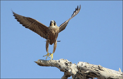 Launching after the red tail hawk.