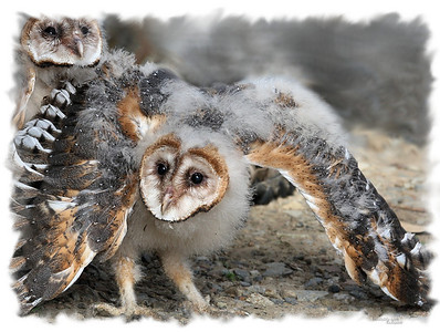 Two of the Barn owl chicks. This photo I added the matt, makes a great print with alot of detail. The second baby was exactly there!
