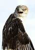 Ferruginous Hawk. Excellent detail in the face on a larger print.