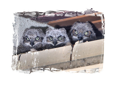 This prints out nicely. Three Great Horned Owl babies
