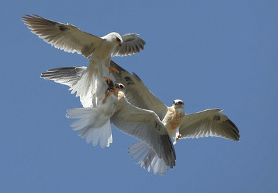 White Tailed Kite food exchange, parent passing food to young fledge who just learned to fly. Now she is teaching him how to grab his food, and strengthen his wings, by having the fledges chase after her..