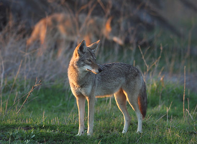 4 beautiful coyotes visited me that day at Bolsa Chica. I was glad there was a fence. ;)
