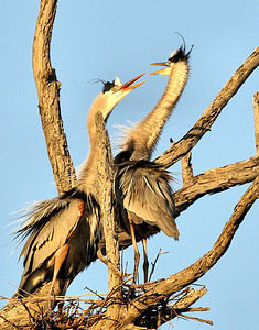 Herons beginning their nest. They work hard all day bringing twigs back to the nest.