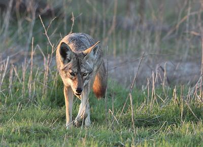 Coyotes of Bolsa Chica