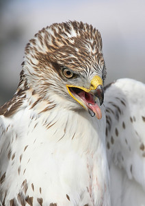 Unreal detail on this Ferruginous Hawks face! Can be appreciated in the larger size print