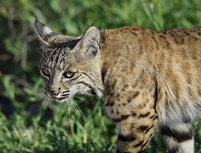 This is a bobcat in the bluff area of Newport Beach.