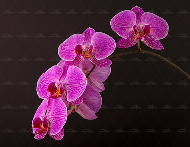 orchid 119 Vibrant Orchid