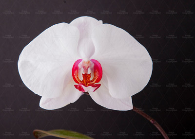 Large white orchid 112 Vibrant Orchid