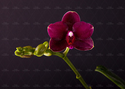 orchid 113 Vibrant Orchid