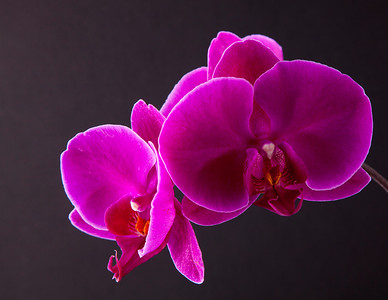 orchid 101 Vibrant Orchid