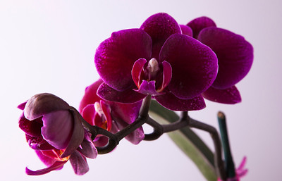 orchid 126 Vibrant Orchid