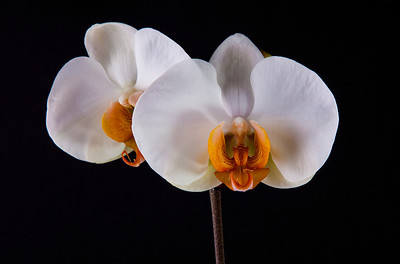 Double white orchid 123 Vibrant Orchid