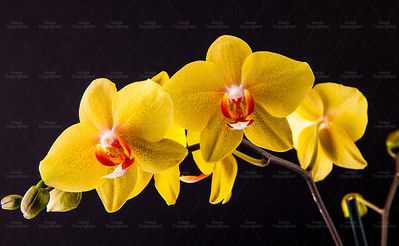 Yellow orchid 104 Vibrant Orchid