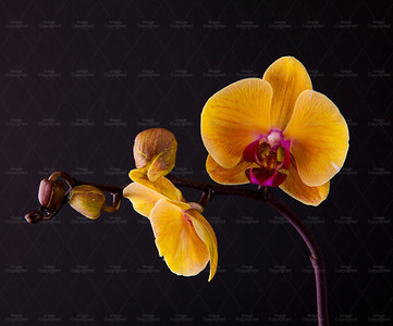 orchid 110 Vibrant Orchid