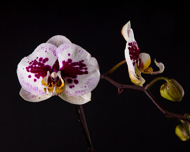 Purple and white orchid 22