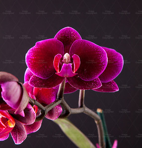 orchid 105 Vibrant Orchid