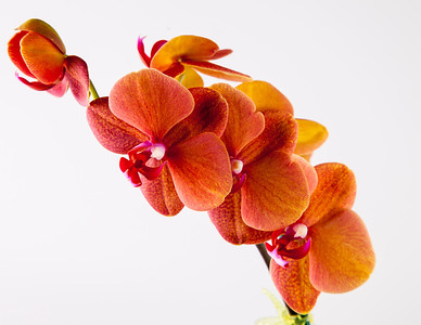 orchid 125 Vibrant Orchid