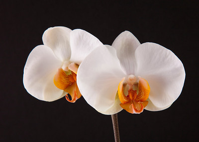 orchid 103 Vibrant Orchid