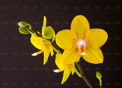 Yellow orchid 108 Vibrant Orchid
