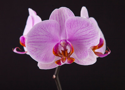 orchid 102 Vibrant Orchid