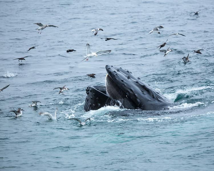 Whale Feeding, August 2016