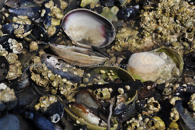 Shells - Vancouver Island, B.C