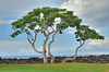 Golf Tree - Hawaii - L3_1_2