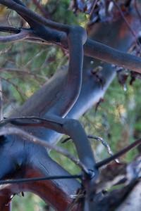 Black Arbutus
