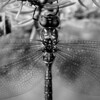 Upside down dragonfly on a fir tree in monochrome