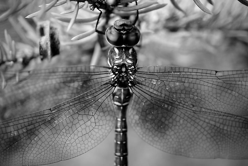 Upside down dragonfly on a fir tree in monochrome