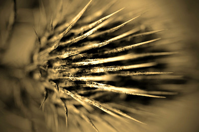 Dried thistle macro in sepia